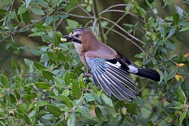 Jay (Garrulus glandarius) with acorn in beak, perched in Holm oak (Quercus ilex) tree. Norfolk, England, UK. October.