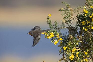 Dartford warbler (Sylvia undata) taking off from Gorse (Ulex sp). Suffolk, England, UK. March.