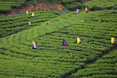 Tea pickers working on tea plantation. Tissa, Sri Lanka. 2019.