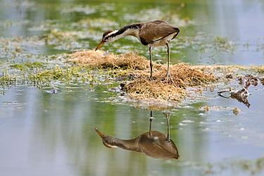 Wattled jacana (Jacana jacana), Juvenile in a shallow pond, Pantanal, Mato Grosso do Sul, Brazil.