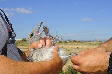 Audouin's gull (Larus audouinii), chick held during bird ringing, Tarragona, Spain, June.