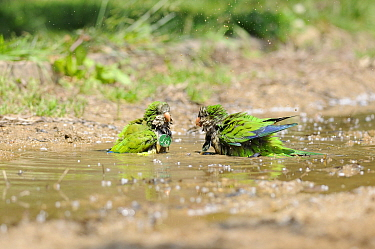 Monk parakeet (Myiopsitta monachus), two individuals having a bath in a city park, Note they are identified for a study with medals, as they tend to destroy leg rings, Barcelona, Spain, May.