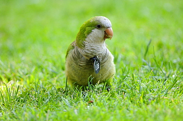 Monk parakeet (Myopsitta monachus), Introduced and well established species in many Spanish cities, This individual is eating grass, Note it is identify with a medal for a study, as they tend to destr...