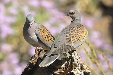 Turtle dove (Streptopelia turtur) pair, Teide National Park , Tenerife, Canary Islands, Spain, July