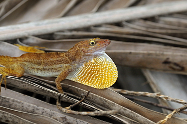 San Andres anole (Anolis concolor) male displaying extending their dewlap, San Andres island, Caribbean, Colombia, September 2019