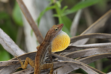 San Andres anole (Anolis concolor) male displaying by extending his dewlap, San Andres island, Caribbean Colombia,