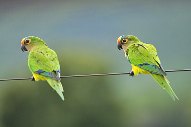 Peach-fronted conure (Aratinga aurea) pair perched on a livestock fence, Pantanal Mato Grosso do Sul, Brazil,
