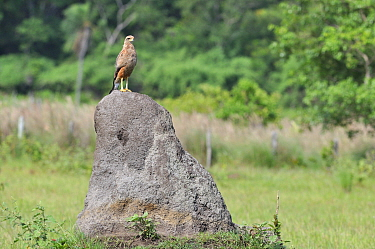Savannah hawk (Buteogallus meridionalis) using a large rock as a look out post, Pantanal Mato Grosso do Sul, Brazil, December,