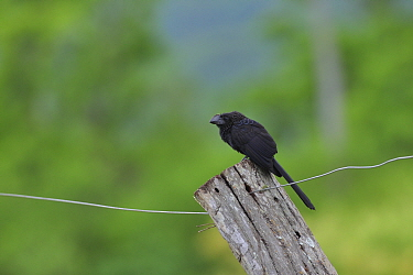 Smooth-billed ani (Crotophaga ani) on fence, Pantanal Mato Grosso do Sul, Brazil, Cropped
