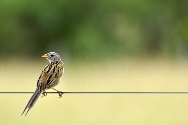 Wedge-tailed grassfinch (Emberizoides herbicola) on a fence, Pantanal, Mato Grosso do Sul, Brazil,