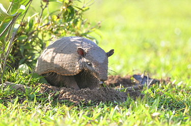 Six-banded armadillo (Euphractus sexcinctus) out of its burrow in a livestock farm, Pantanal, Mato Grosso do Sul, Brazil,