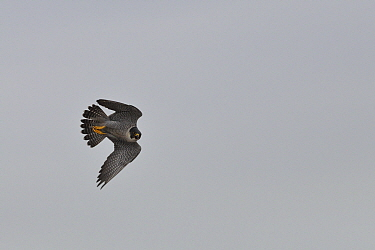 Peregrine falcon (Falco peregrinus) one flying close to biologists ringing its chicks, Barcelona, Spain, May, Cropped,