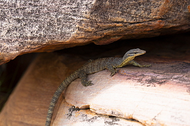 Kimberley rock monitor (Vanranus glauerti), King George Falls, Kimberley , Kimberley, Western Australia.