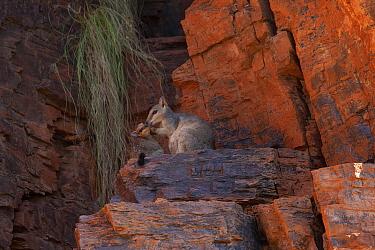 Short eared rock wallaby with offspring (Petrogale brachyotis brachotis), Ord River, Kimberley, Western Australia
