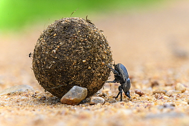 Dung beetle (Scarabaeidae) rolling dung ball. South Luangwa National Park, Zambia.