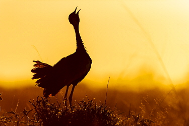 Black-bellied bustard (Lissotis melanogaster) male calling at sunrise. Serengeti National Park, Tanzania.