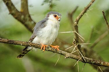 Pygmy falcon (Polihierax semitorquatus) male perched in Acacia bush. Serengeti National Park, Tanzania.