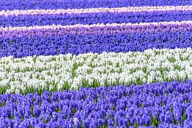 Cultivated Hyacinths (Hyacinthus orientalis) flowers in field. Keukenhof Flower Gardens, Lisse, near Amsterdam, The Netherlands. April 2016.