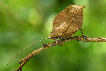 Sylvan leaf katydid (Mimetica viridifolia) on branch. Boca Tapada, Costa Rica.