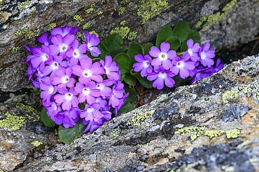 Mountain primrose (Primula villosa) in rock crevice. North Tyrol, Austrian. June.