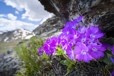Mountain primrose (Primula villosa) in rock crevice at 2300m in elevation, mountains in background. North Tyrol, Austrian. June.