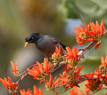 Jungle Myna (Acridotheres fuscus) on flowering Indian coral tree (Erythrina indica) Bangalore, India.