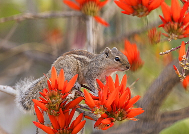 Three striped Palm squirrel (Funambulus palmarum) on flowering Indian coral tree (Erythrina indica), Bangalore, India.