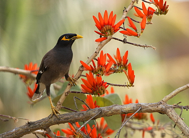 Common Myna (Acridotheres tristis) in flowering Indian coral tree (Erythrina indica), Bangalore, India.
