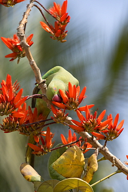 Rose ringed Parakeet (Psittacula krameri), female feeding on Indian Coral tree (Erythrina Indica) flower, Bangalore, India.