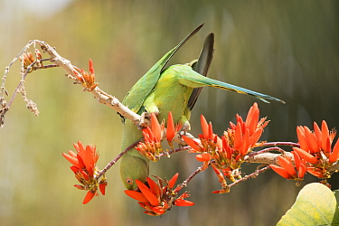 Rose ringed Parakeet (Psittacula krameri), female on flowering Indian Coral tree (Erythrina Indica), Bangalore, India.