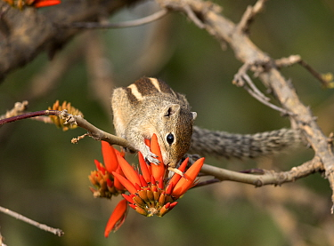 Three striped palm squirrel (Funambulus palmarum) on Indian coral tree (Erythrina indica) flower, Bangalore, India.
