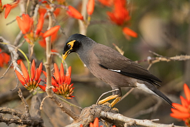 Common myna (Acridotheres tristis) on flowering Indian coral tree (Erythrina indica), Bangalore, India.