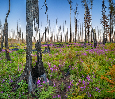 Fireweed (Epilobium angustifolium) in flower, and Bracken, and charred wood after Wallow forest fire, Apache-Sitgreaves National Forest, Arizona, USA. August.