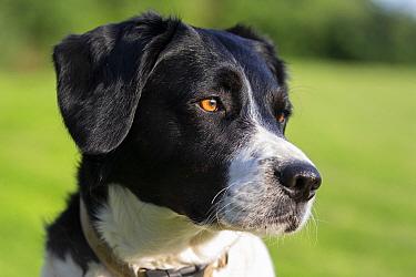 Collie Cross dog, head portrait, Wiltshire, UK, June.