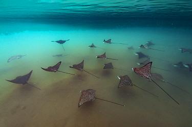 Spotted eagle rays (Aetobatus narinari), in mangrove inlet, Elizabeth Bay, Isabela Island, Galapagos.
