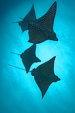 Spotted eagle rays (Aetobatus narinari) silhouetted, Kicker Rock, San Cristobal Island, Galapagos.