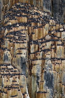 Breeding colony of Brunnich's guillemot (Uria lomvia) Svalbard, Spitzbergen, Arctic Norway May.