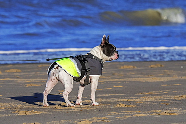French Bulldog wearing adjustable walking harness and dog coat / jacket against the cold on the beach in winter