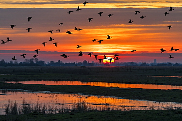 Flock of ducks silhouetted against sunset flying over field in winter in the Uitkerkse Polder nature reserve near Blankenberge, West Flanders, Belgium. February 2020.