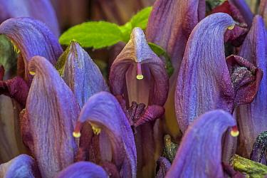 Purple toothwort / clandestine (Lathraea clandestina) in flower in spring, Belgium. April