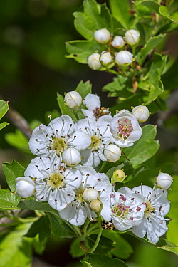 Blossoming common hawthorn / oneseed hawthorn / single-seeded hawthorn / mayblossom (Crataegus monogyna) showing white flowers in spring, Belgium. April