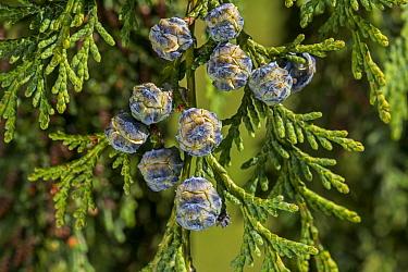 Port Orford cedar / Lawson cypress (Chamaecyparis lawsoniana) cultivar Dik's Weeping showing female cones in spring, Belgium. May