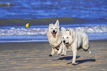 Two Berger Blanc Suisse dogs / White Swiss Shepherds, white form of German Shepherd dog, running after tennis ball on beach