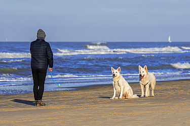 Dog owner with tennis ball launcher playing fetch on the beach with two Berger Blanc Suisse dogs / White Swiss Shepherds