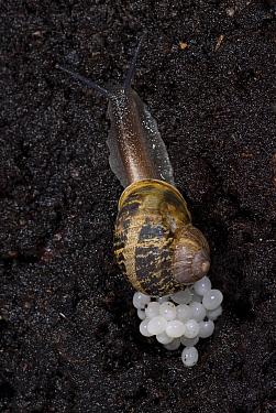 Garden Snail, (Helix aspersa), laying eggs in soil at night, Kent UK