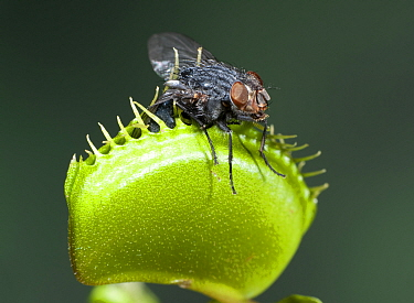 Venus Fly Trap, (Dionaea muscipula), trap closed with insect. Cultivated plant.