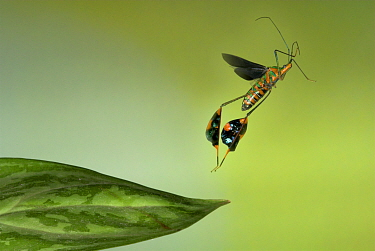 Flag footed bug, (Anisocelis flavolineata), in flight, Costa Rica.