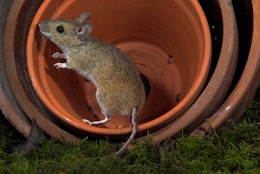 Wood mouse, (Apodemus sylvaticus), in terracotta plant pots at night, UK