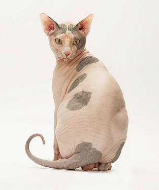 Sphynx Cat, male, studio image.