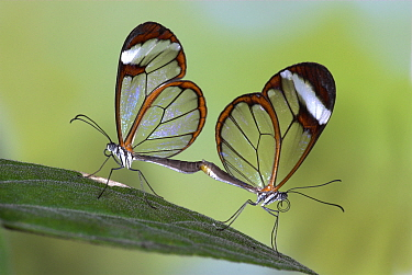Glasswing butterfly, (Greta oto) pair mating, captive, from Central America.